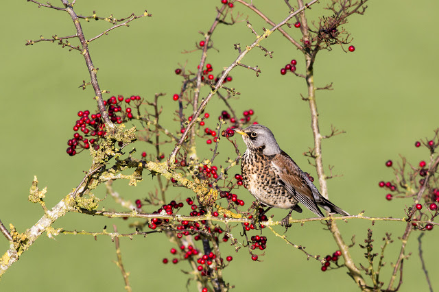 Fieldfare preparing to feast