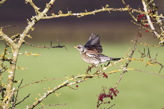 Fieldfare wing flapping - River Ouse, Milton Keynes