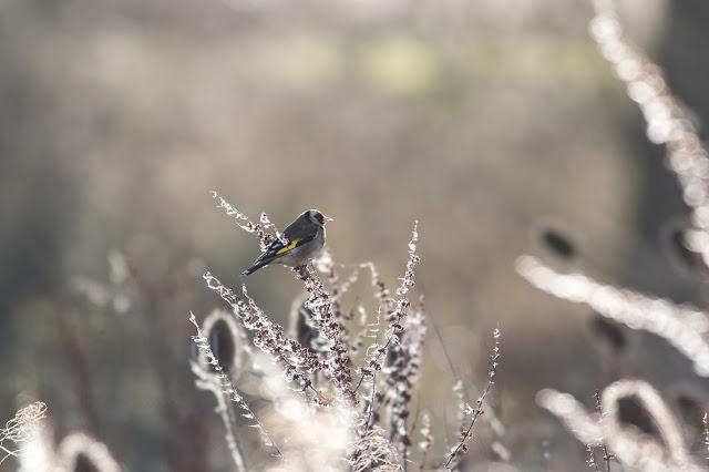 Back-lit Goldfinch