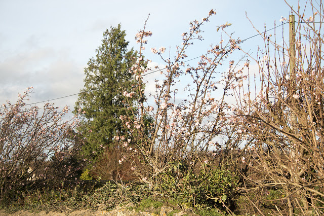 Cherries in blossom in late December, the weather really is messed up!