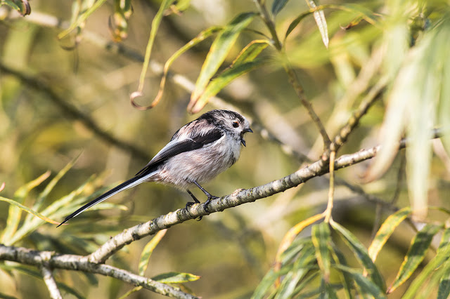 Long-tailed Tit calling
