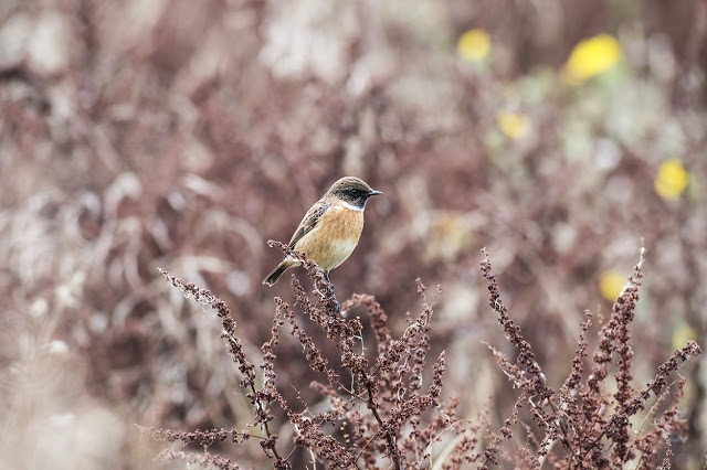 Views From an Urban Lake Year End Review - Male Stonechat (My favourite image of the year 2015)