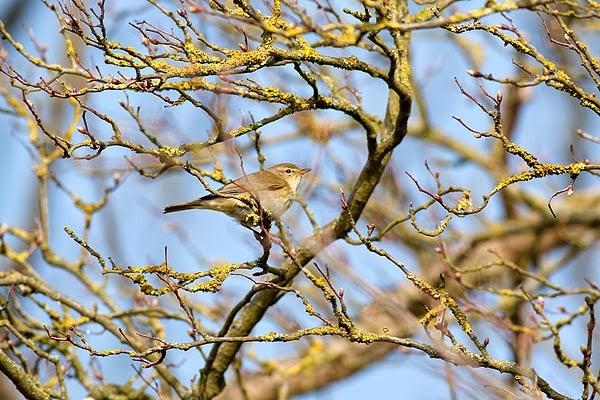Chiffchaff the first returning Migrant