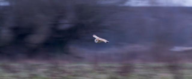 Barn Owl flying in the darkening evening.