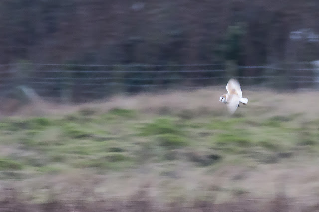 Barn Owl, showing great movement