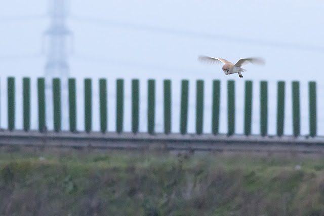 Hovering Barn Owl, with the road behind