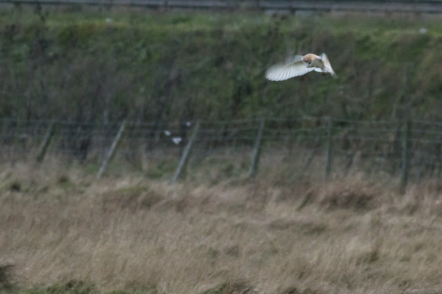 and Another of the Barn Owl, hovering