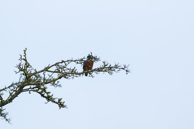 Badly photographed male Kingfisher