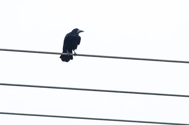 First Patch Birding of 2016 - Rook