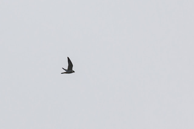 Distant shot of Peregrine Falcon