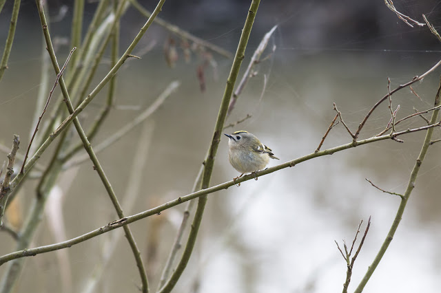 Goldcrest at a distance I would expect