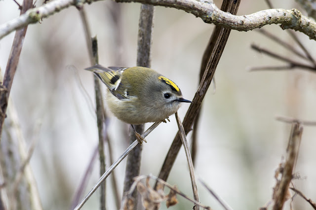 Goldcrest Getting closer