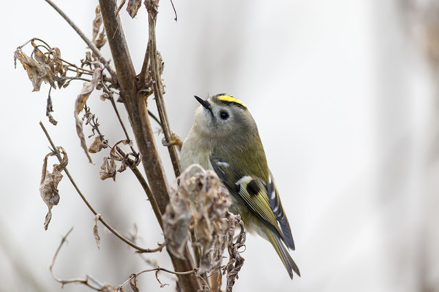 Goldcrest - any closer and I couldn't focus