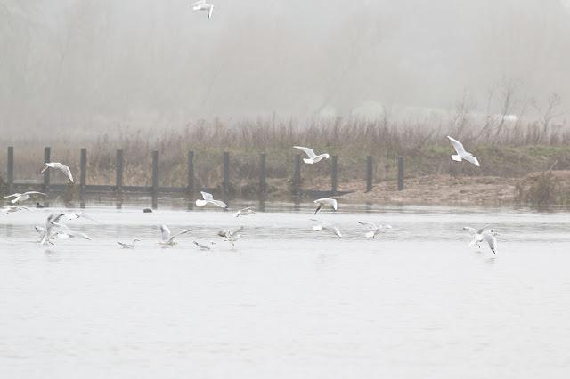 Black-headed Gulls flying in the mist