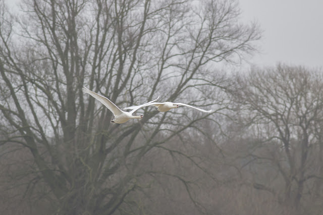 Mute Swans just after take off