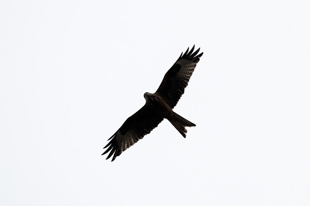 Red Kite in silhouette over my house