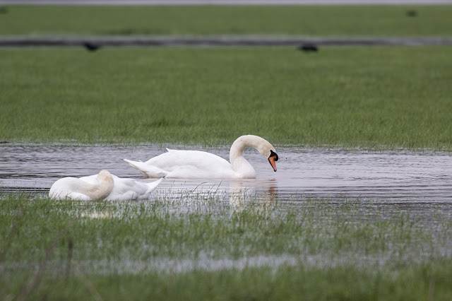 Foolhardy or Dedication - Mute Swan