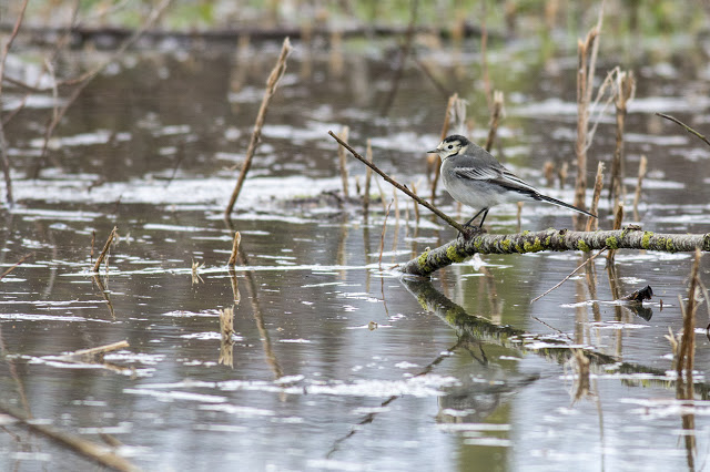 Pied Wagtail resting over the floods