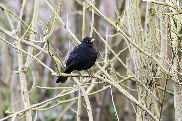 A Male Blackbird resting after a burst of song