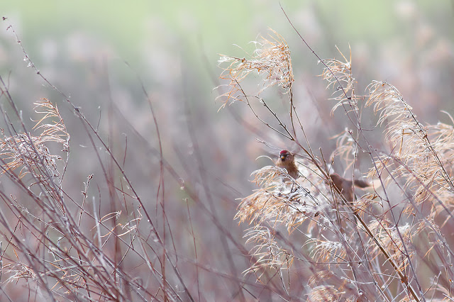 First Redpoll shot