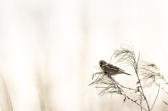 Redpoll in the light