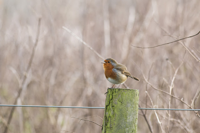 A Touch of Red - European Robin on fence post