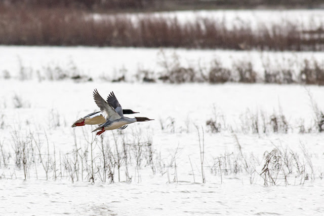 Goosander (Male and Female) in Flight