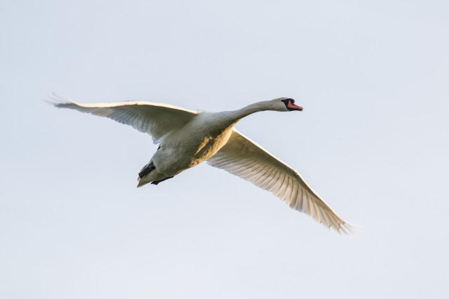 When Plans Go Right - mute swan in flight