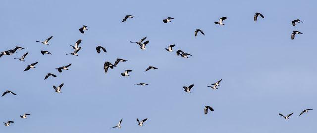 Lapwings in flight (1)