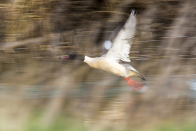 Male Goosander in flight (oddly I like the action in this shot if not the lack of focus)