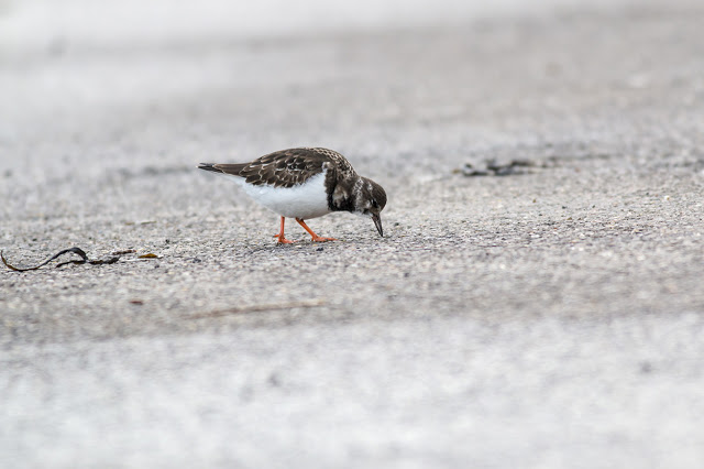 Turnstone feeding in the car park