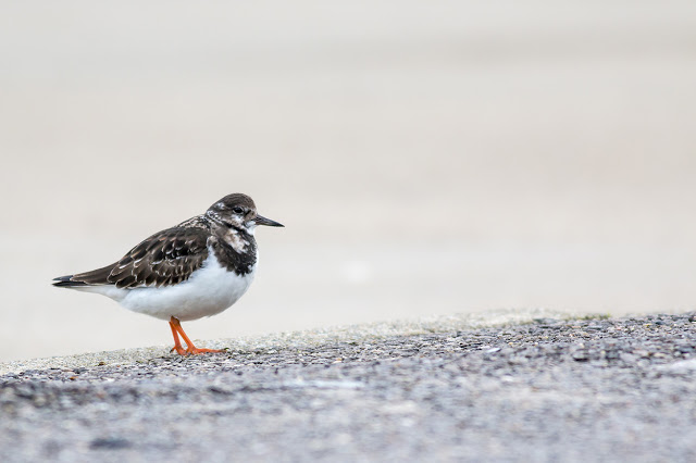 Turnstone at the edge of the car park