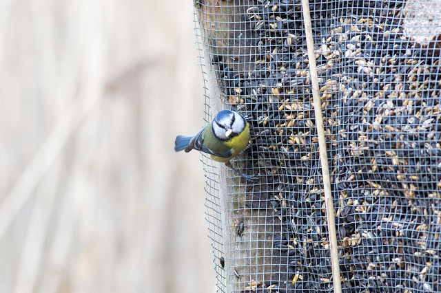 Blue Tit on one of the feeders