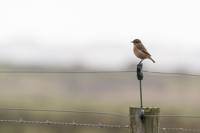 Female Stonechat atop Fence