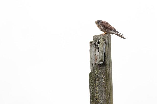 Kestrel (Male) on the old target numbers at Rainham Marsh