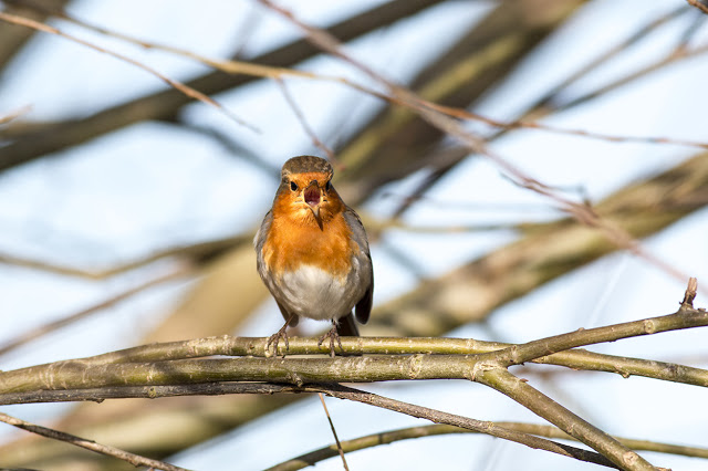 European Robin in full song