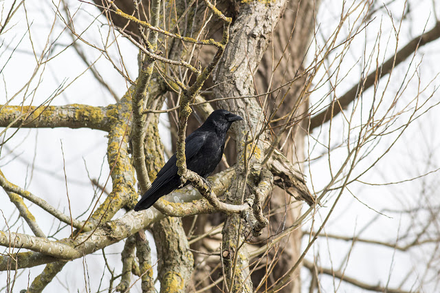 Carrion Crow perched