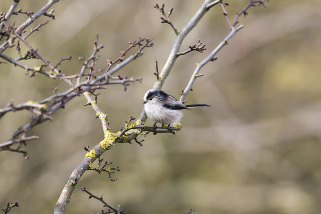 Long-tailed Tit (mentioned above).
