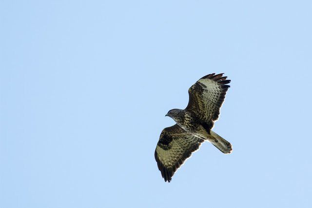 One of at least 6 Common Buzzards seen at Manor Farm, Milton Keynes, today