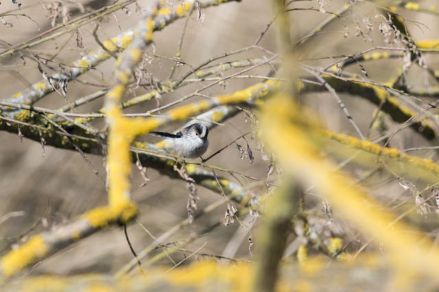 In Amongst the branches - Long-tailed Tit