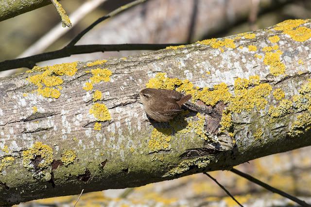 Wren clinging to a fallen log