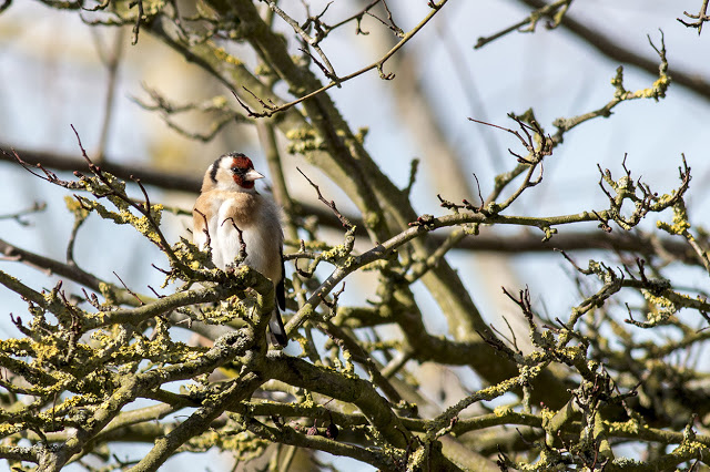 Goldfinch keeping a watchful eye on me
