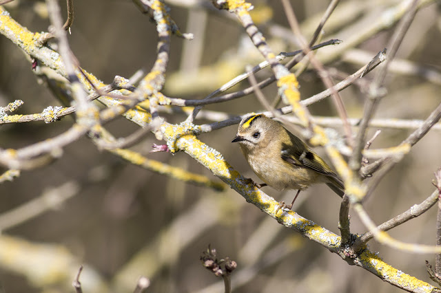 Ready to hunt - Goldcrest