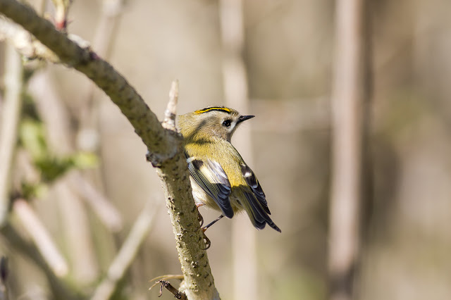Carefully perched - Goldcrest