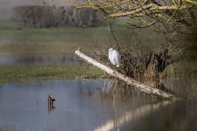 Little Egret climbing a branch
