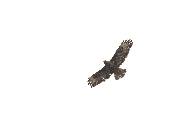 Common Buzzard, with some wing wear