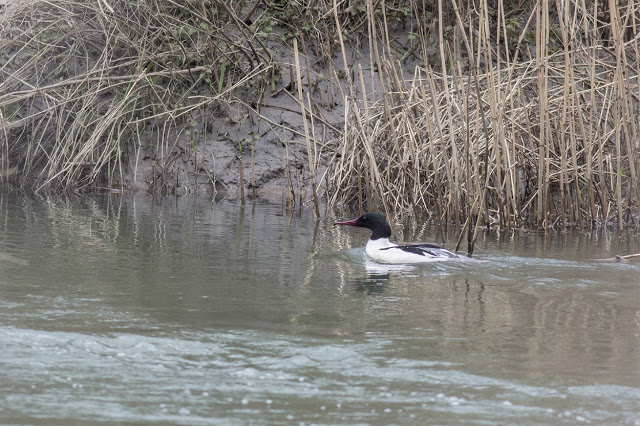 Male Goosander on the River Ouse