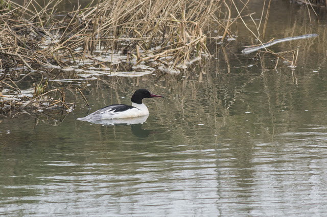 Male Goosander swimming the River Ouse