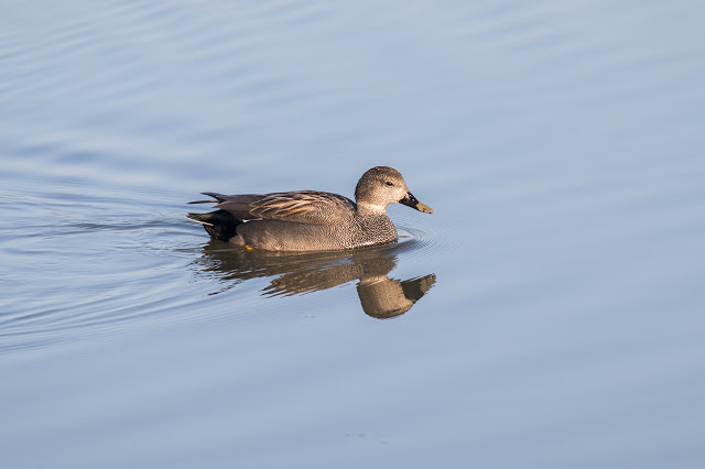 Early Start - Gadwall