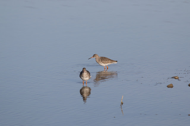 Pair of Redshank